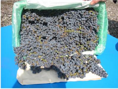 Chilean Grape Varieties