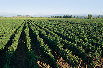 Chilean Grape Regions vineyard