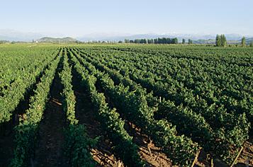 Chilean Grape Regions vineyard