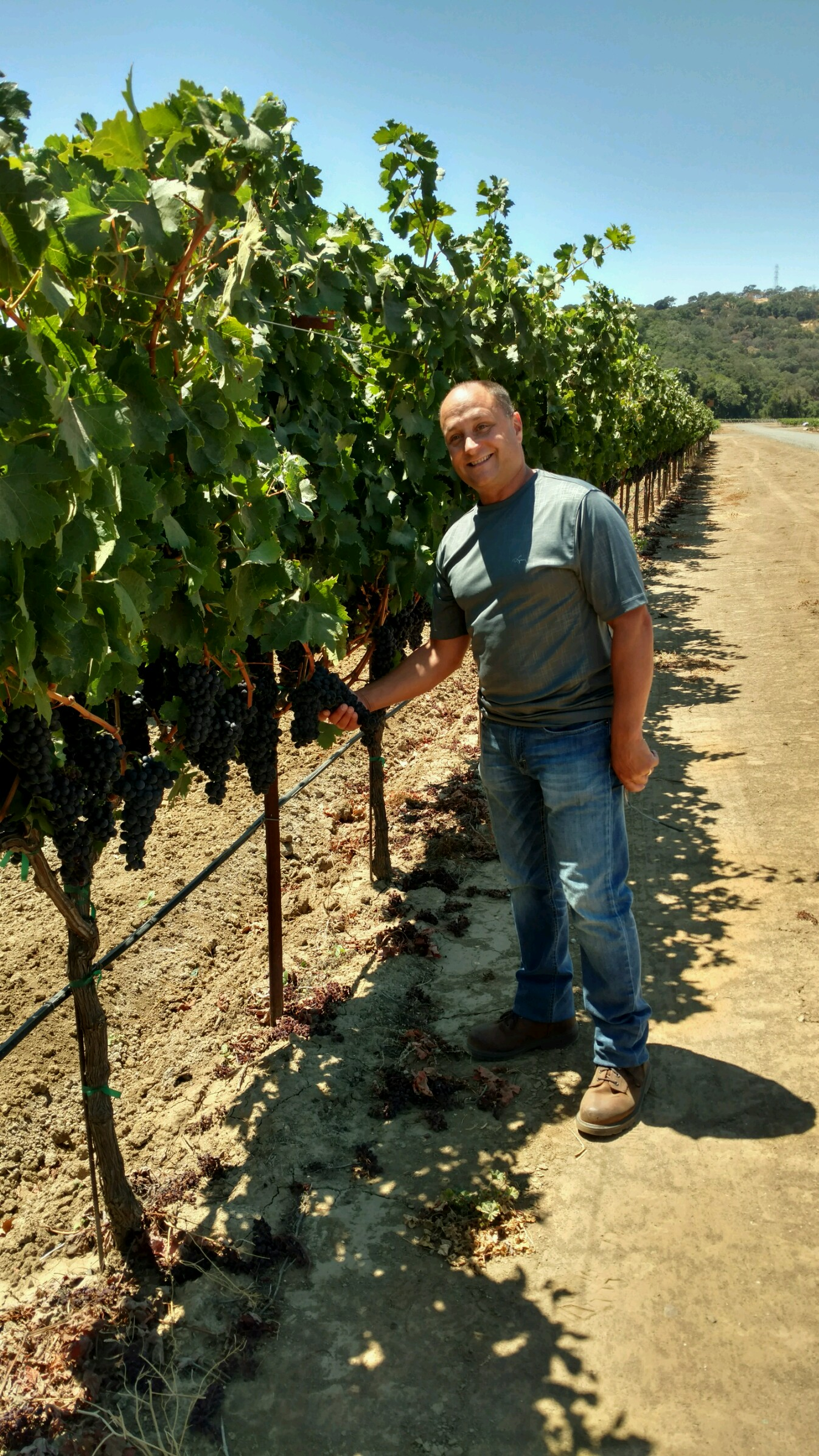 Michael Pinto of Gino Pinto inspecting the Barbera wine grapes in the L.M.P vineyard in the Suisun Valley.