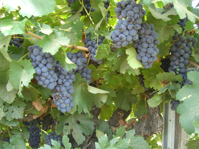 products grapes