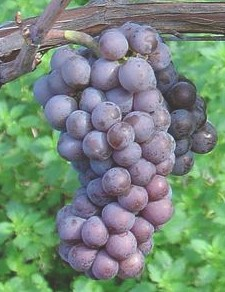 Chilean Grape Juice
