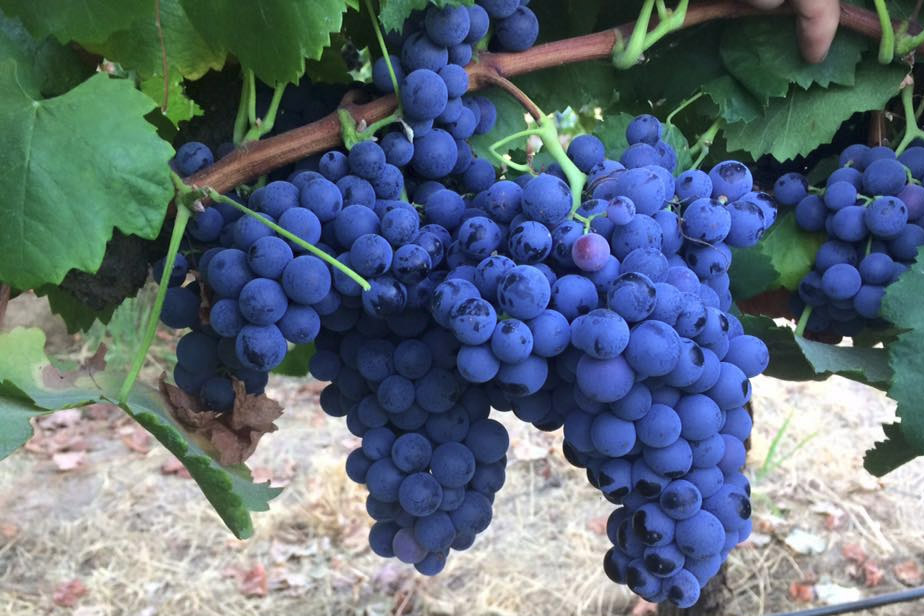 recipe: corrado wine grapes [6]