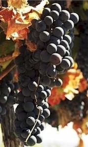Chilean Grape Juice