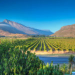 South African Wine Grapes